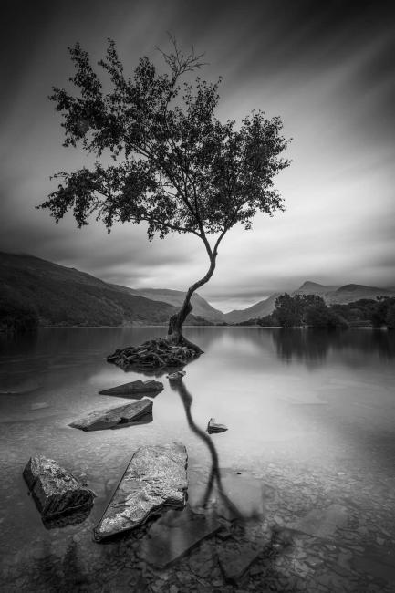 Tree at Llyn Padarn in North Wales